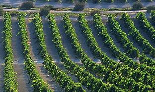 Viñedos. Foto: Junta de Andalucía.