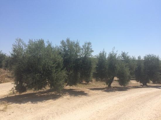 Campos de olivar en la Comarca de Andújar.