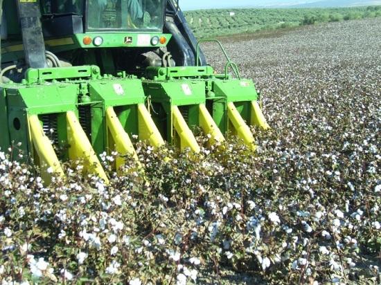 Recolección de algodón en la Comarca de Andújar. Foto: COAG.