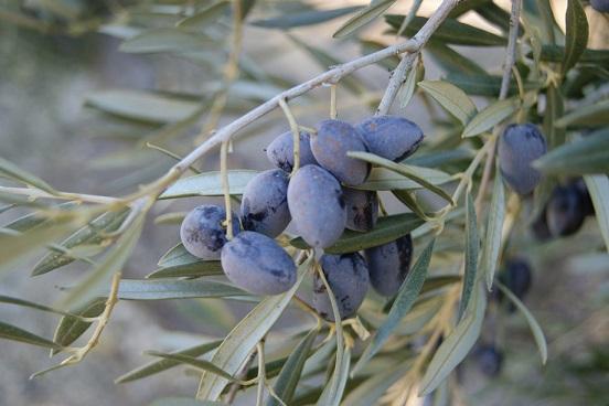 COAG calcula que se va a perder entre un 20 y un 30% de la cosecha de aceituna.