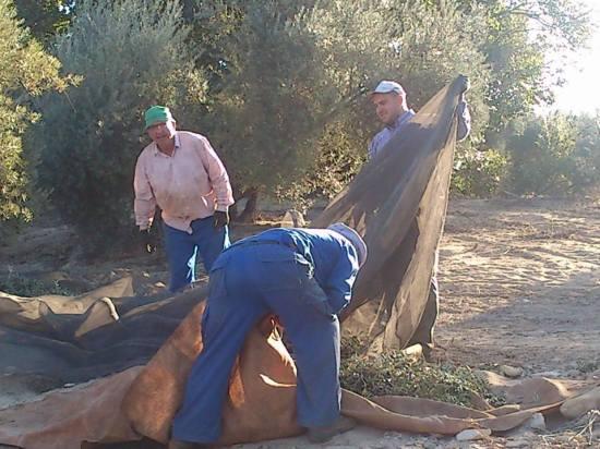 Una imagen de la pasada campaña de la aceituna en la Comarca de Andújar.