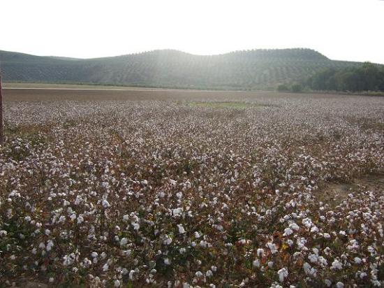 Campos de algodón en la Comarca de Andújar.