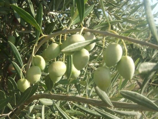 La campaña de aceite de oliva no será tan elevada como se esperaba.
